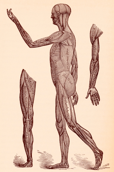 Anatomy Illustration