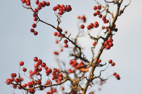 Natural Retinol Alternatives _Rosehip Seed