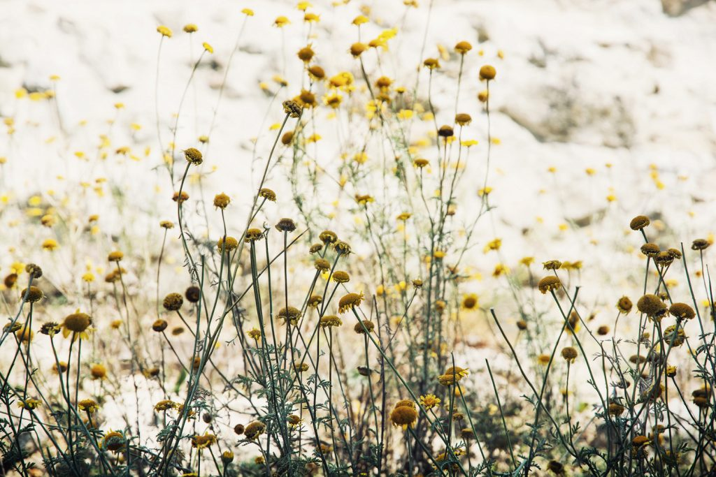Natural hay fever remedies | Chamomile