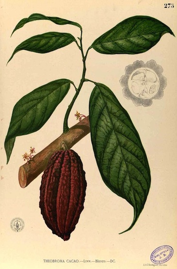 FOOD FOR THOUGHT_ Cacao
