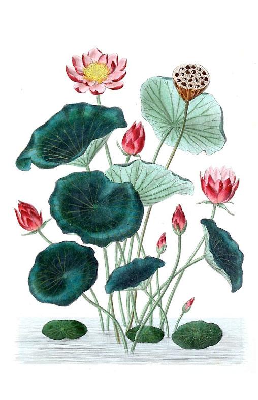 LAB---Lotus-Illustration