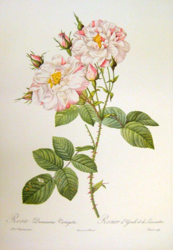 Rose Otto botanical image