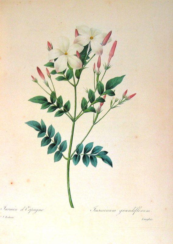 jasmine botanical image