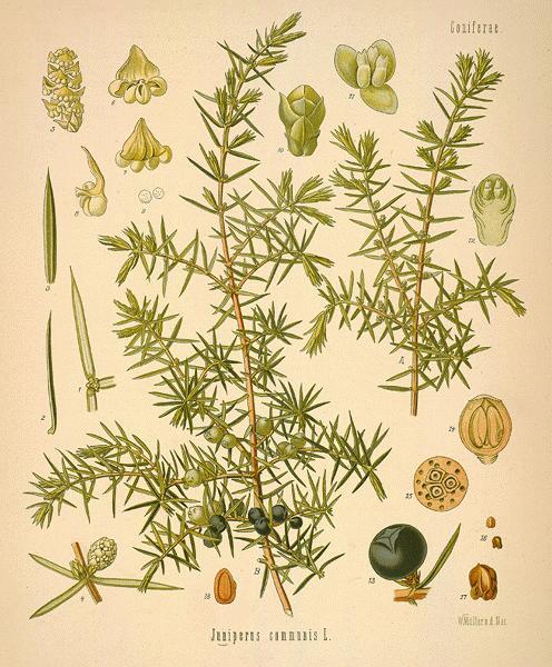 Juniper botanical image